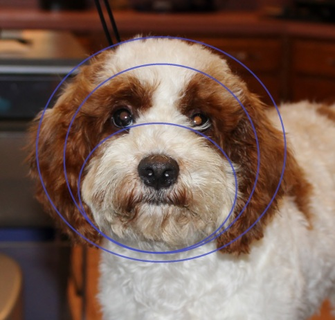 How To Groom A Cockapoo S Face And Head Eden Dog