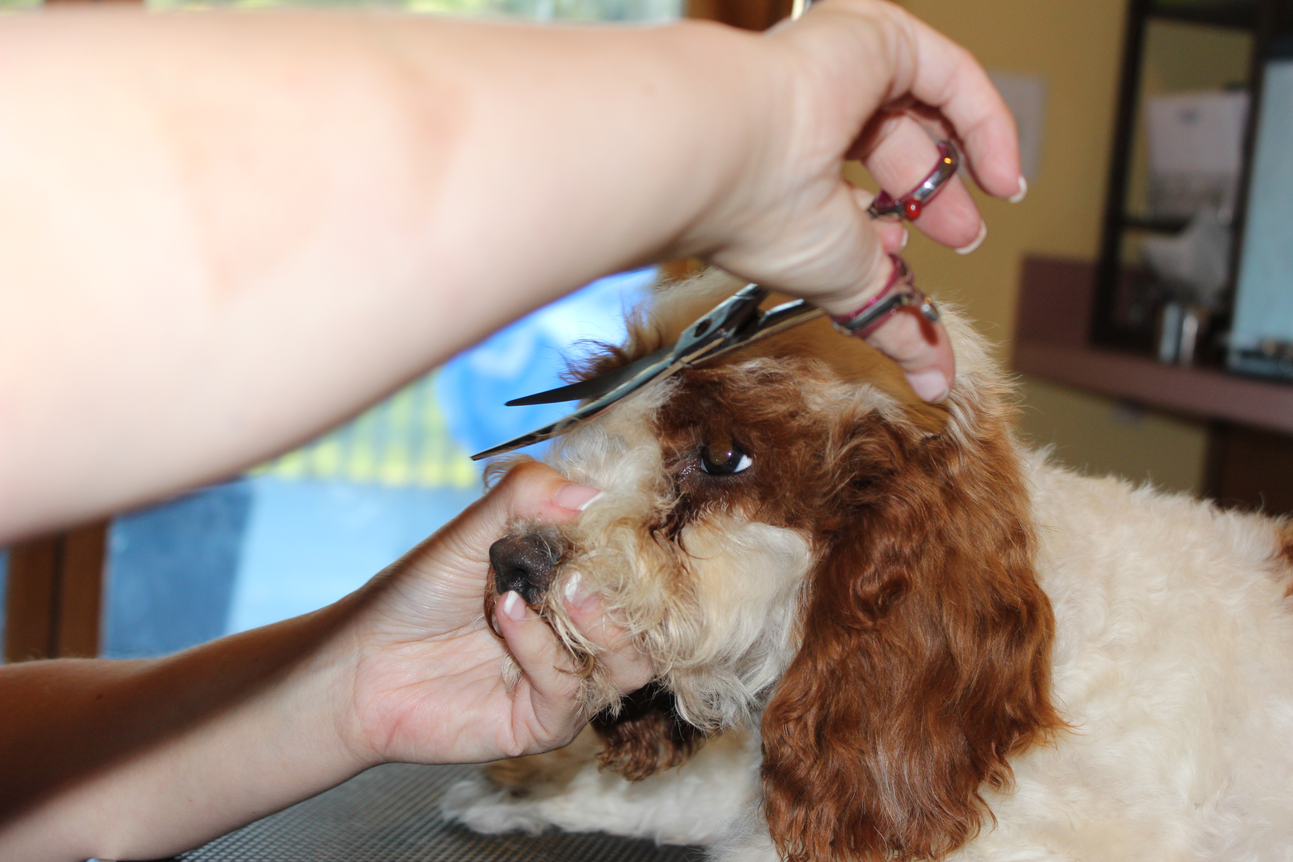 how to cut dogs hair face