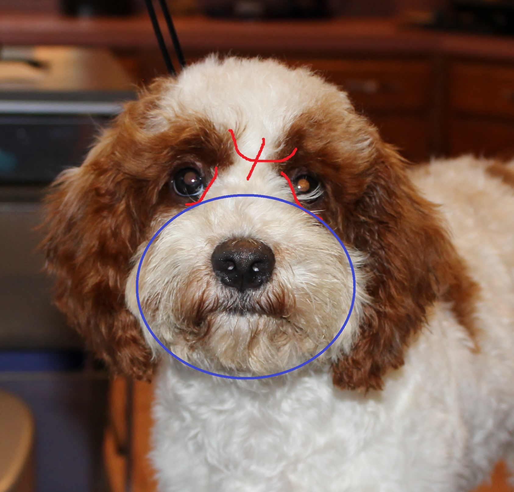 Cockapoo haircuts - Clipping For Vision After With Marks