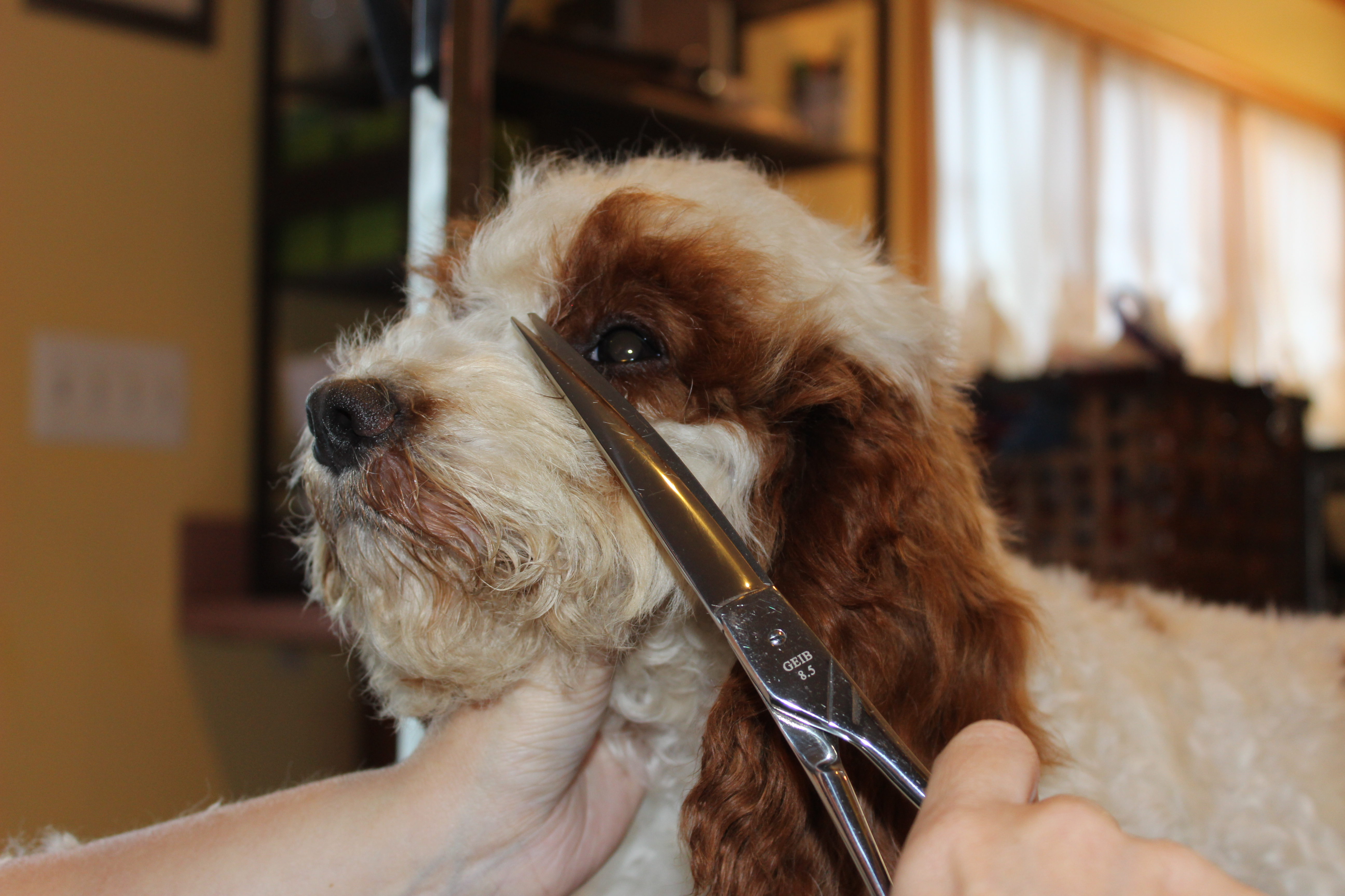 How To Groom A Cockapoos Face Part Ii Eden Dog